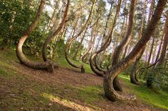 Floresta Torta - The Crooked Forest - Polónia -