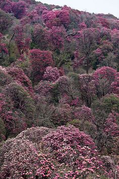 Rhododendron forest at Ghorepani, Nepal