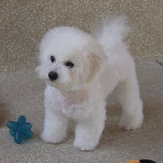 Cute fluffy white dog