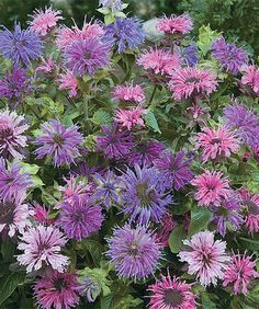 Bee Balm Monarda - A favorite with hummingbirds, these brilliant monardas explode forth from tall stems to catch the attention of your garden visitors. Grows to 24'' to 36'' H Perennial Bloom period: summer Full sun to partial shade Hardiness zones: 4-9