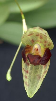 Miniature-orchid / Micro-orquidea: Elongatia janetiae