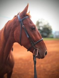 This gelding is truly one that only comes around once in a life time! Winston is a four year old, ~16 hand, saddlebred gelding. He was registered, but his previous owner misplaced the papers. (she is looking for them, but I will not garruntee papers).
