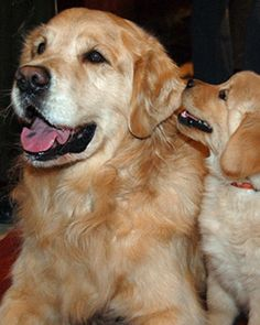 Esa The Golden Retriever With Its Intelligence And Eagertoplease Attitude Is One Of The Most Popular Breeds In The United States According To Akc 16 Best Comfortemotional Support Dogs Images Dogs Service Dog