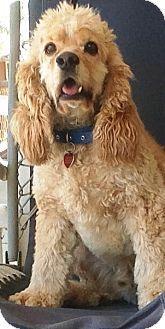 08/14/16-Santa Barbara, CA - Cocker Spaniel. Meet Sandy, a dog for adoption. http://www.adoptapet.com/pet/15609369-santa-barbara-california-cocker-spaniel