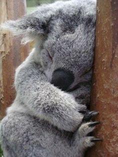 Cute Funny Animals, Cute Baby Animals, Animals And Pets, Cute Dogs, Cute Babies, Baby Koala, Koala Bears, Australia Animals, Mundo Animal