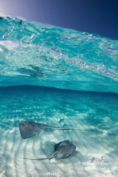 "Checkout this highly voted shot by Susannah H. Snowden-Smith. ""A pair of stingrays swim under a cobalt blue sky in Grand Cayman."""