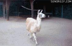 One fabulous llama