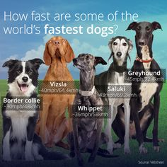 What Are The Fastest Dogs In The World?