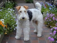 WIRE-HAIRED FOX TERRIER OR IMMACULATE GARDEN- YOU CAN'T HAVE BOTH. YOU DECIDE