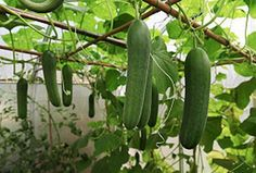 How To Grow Cucumbers | The WHOot