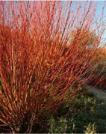 Salix alba Chermesina