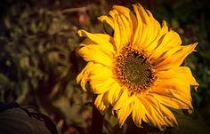 De Girasol, Flor Amarilla, Amarillo