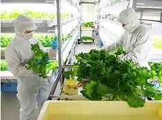野菜(グリーンリーフ)高架下植物工場「阪神野菜栽培所」