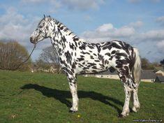 Moonspark Zebbadee - Stud Card. Stallions Online. Stallions at stud.