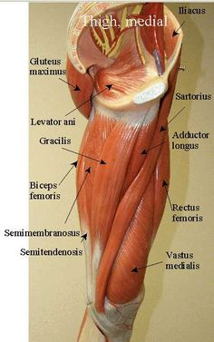 SARTORIUS =long muscle ORIGIN: anterior superior iliac spine INSERTION: medial tibia near tibial tuberosity ACTION: lateral rotation & abduction of hip & flexion of knee