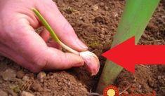 Starká mala vždy v záhrade pár strúčikov cesnaku navyše: Nechystala sa ich však zasadiť, tento starý trik vyvážite zlatom aj dnes!