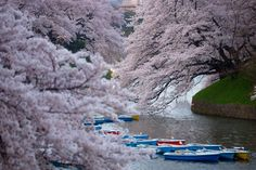 Tokyo Japan Blooming cherry blossoms 2015