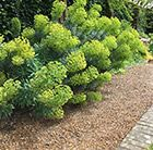 Handsome tall evergreen with chartreuse flowers in spring