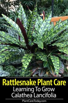 Rattlesnake Plant Care: Learning To Grow Calathea Lancifolia Rattlesnake Plant [Calathea Lancifolia] striking appearance, prayer plant relative, leaves with alternating dark green ovals, deep purple underside.