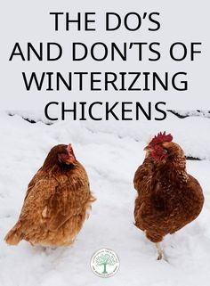 How to make sure your chickens survive and thrive in their coop during long, cold, hard winters. Chicken Coop Winter, Walk In Chicken Coop, Backyard Chicken Coops, Chicken Runs, Raising Backyard Chickens, Keeping Chickens, Backyard Farming, Pet Chickens, Wyandotte Chicken