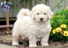 Porky – Miniature Goldendoodle Puppy  #minigoldendoodle  #fibminigoldendoodle