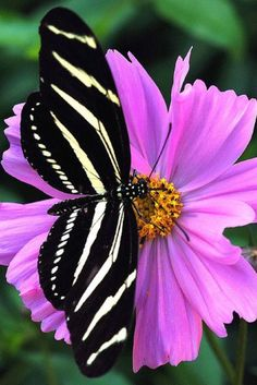 A Zebra Longwing Butterfly.