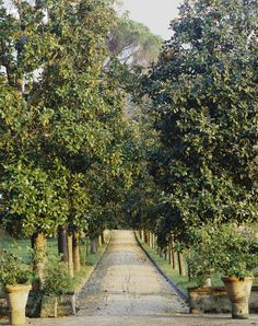 Driveway lined with magnolias - just imagine the heady fragrance