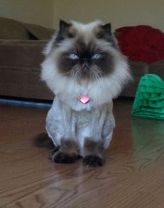 """Persian Cat Haircut The Horror """"Don't expect me to go outside like this."""" - 11 Cats With Lion Cuts These felines are recipients of the famed 'lion cut' and don't look too happy about it Cat Lion Cut, Cut Cat, Persa Cat, Gato Munchkin, Shaved Cat, Cat Haircut, Himalayan Cat, Cats For Sale, Tier Fotos"""
