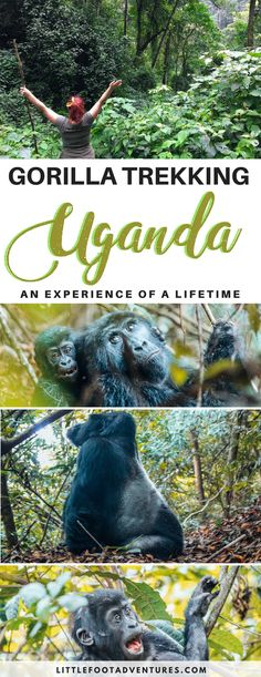 Gorilla Trekking in Uganda - An experience of a lifetime!  Uganda's Mountain Gorillas are an endangered species that can't survive in captivity.   Gorilla tracking was not easy and I did felt like I was inside of 'Gorillas in the Mist' movie but it's an experience of a lifetime!   Uganda | Gorilla Trekking | Mountain Gorilla | Gorilla | Endangered Species | Wildelife | Gorillas in the wild  #Uganda #Africa #safari #mountain #adventure #wildlife