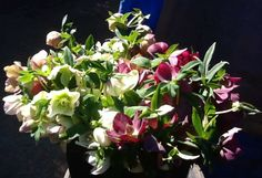 Reading posts on facebook reminds me that everyone across this USA... isn't experiencing what we do here on the Central Coast of CA. in Carpinteria... My Wife Sara Hipple and I just finished picking and shipping our hellebore flowers off to Colorado and Wash,DC. Friday 2-21-14...