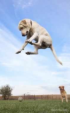 Look at me, Leaping Labradors