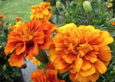 If you haven't had great luck with summer flowers in the past, take a new look at some of the much-improved varieties now available. Many are light years better than older ones. Annual Flowers, Annual Plants, Water Garden, Marigold, Summer Flowers, Sea Creatures, Good News, Color Change, Bloom