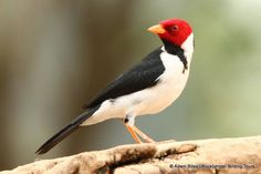 yellow-billed cardinal (Thraupidae: Paroaria capitata), South America