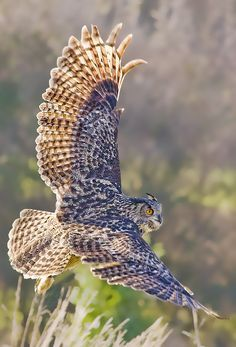 ~The Eurasian Eagle-Owl (Bubo bubo) is a species of eagle owl resident in much of Eurasia. It is sometimes called the European Eagle-Owl. Beautiful Owl, Animals Beautiful, Cute Animals, Pretty Birds, Love Birds, Owl Pictures, Owl Pics, Tier Fotos, Mundo Animal