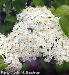 Blackhaw Viburnum  Viburnum prunifolium    Pretty Creamy White Flower Blooms that are Followed by a Blue-Black Edible Fruit  Showy Autumn Color: Purple or Red Burgundy  Very Hardy and Easy to Grow  Does in a Wide Variety of Conditions  Grows 12' to 15' tall with a 8' to 10' spread  Zones 3 to 9