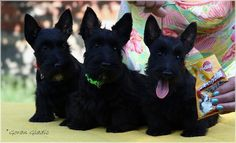 INVISIBLE TOUCH KENNEL  Invisible Touch Black Sapphire, Black Onyx & Black Pearl Black puppy females 10 weeks Photo by Goran Gladic