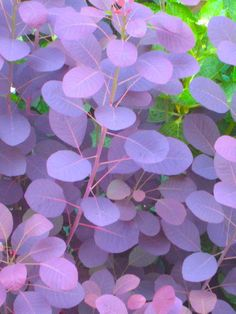 Smoke Bush....the leaves turn from bright green, to lilac and then to a deep purple...if you trim it often you open up new sprouts which creat airy fuzzy lilac fledglings...something out of Dr.Seuss! definitely in my future Garden....