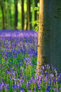 Bluebells in Micheldever Wood, Hampshire, England
