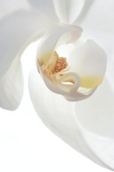 Stunning delicate orchids for your Love Flowers, Colorful Flowers, White Flowers, Beautiful Flowers, Flower Colors, Painted Flowers, Abstract Flowers, White Orchids, Shades Of White