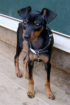 Min Pin Photo:  This Photo was uploaded by jessebear2. Find other Min Pin pictures and photos or upload your own with Photobucket free image and video ho...