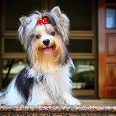 Do your Yorkies have interesting reactions to television? Biewer Yorkie, Yorkie Dogs, Dumb Animals, Animals Images, Baby Animals, Dog Hair Bows, Dog Bows, Puppies Tips, Dogs And Puppies