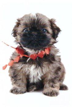 shih-tzu puppie zo lief