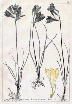 Anthericaceae - Paradisea liliastrum - Paradisia liliastrum. From: Herbier de la flore française by Louis Antoine Cusin  Edmonde Ansberque....