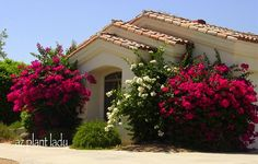 White Spanish Colonial with overgrown bougenvillea
