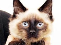 CHARLES is an adoptable Ragdoll Cat in Middletown, RI.  ...