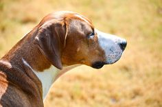 American Foxhound by SDMauro, via Flickr American Foxhound, The Fox And The Hound, Hound Dog, Dog Photos, Boxer, Dogs, Animals, Animales, Animaux