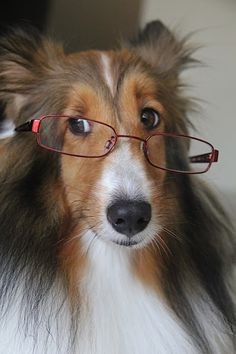 Intellectual Sheltie