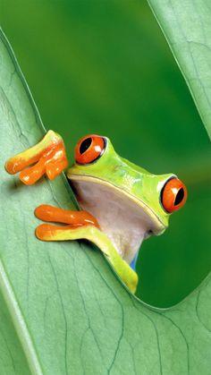 Frog peeking behind the leaf