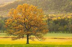 golden cove tree