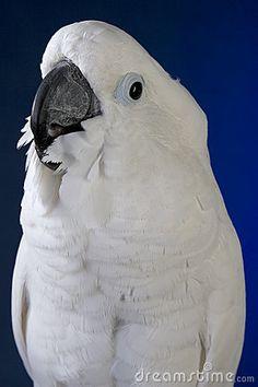 Umbrella Cockatoo Looks like My Naula